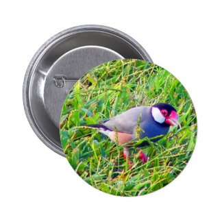 Java Sparrow in the grass in Hawaii Pins