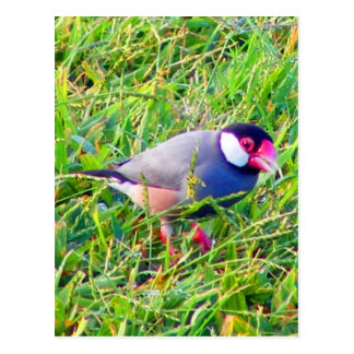 Java Sparrow in the grass in Hawaii Postcard