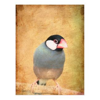 Java Sparrow Postcard