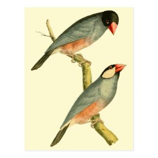 Java Sparrow, Postcards