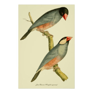 Java Sparrow, Poster