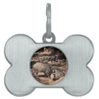 Javalina parents with a baby pet ID tag