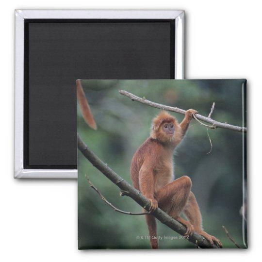 Javan black leaf monkey (Trachypithecus auratus) Magnet