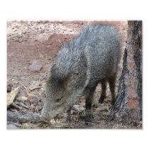 Javelina Photo Print
