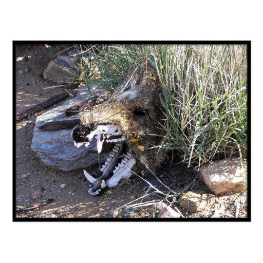 Javelina Skull Postcard