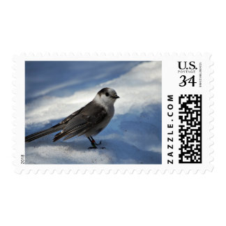 Jay gris en la nieve sellos