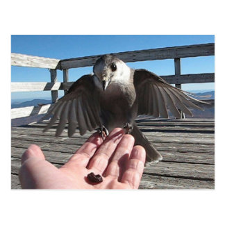 Jay gris en la postal del Mt Carrigain