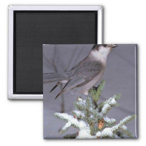 Jay gris en rama nevosa imán cuadrado