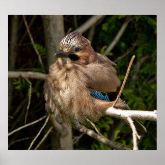 Jay, pájaro británico póster