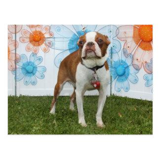 Jazmín - Boston Terrier Postales