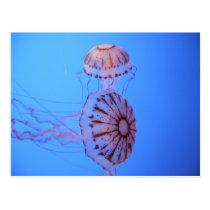 Jelly Fish - Monterey Bay, CA Postcard