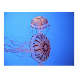 Jelly Fish - Monterey Bay, CA Postcard