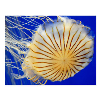 Jelly Fish Photo Print Postcard