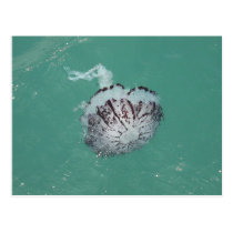 Jellyfish, Santa Cruz Island, California Postcard