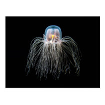 Jellyfish (turritopsis nutricula) postcard