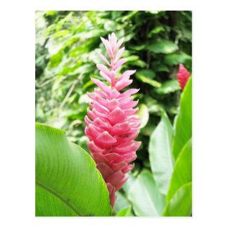 Jengibre rosado (pink ginger) postcard