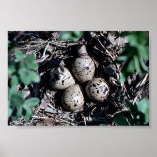 Jerarquía de la lavandera de Baird con los huevos Poster