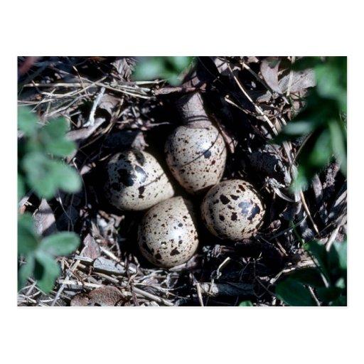 Jerarquía de la lavandera de Baird con los huevos Postales