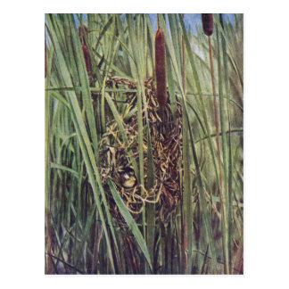 Jerarquía del Wren de pantano en Cattails Tarjetas Postales