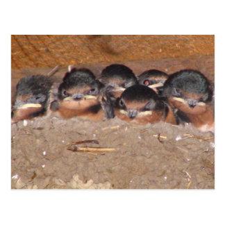 Jerarquía por completo de los swollows del granero tarjetas postales