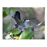Jerarquización Broadbilled del colibrí Tarjetas Postales