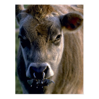 Jersey Bullock Postcard