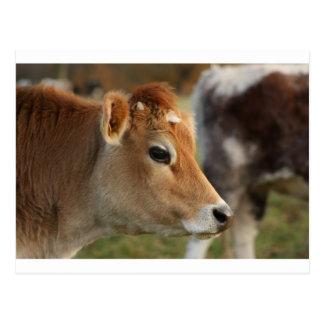 Jersey Cow Postcard