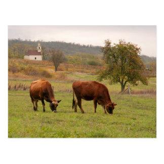 Jersey cows postcard