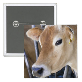 Jersey dairy cow with head in head lock. pins