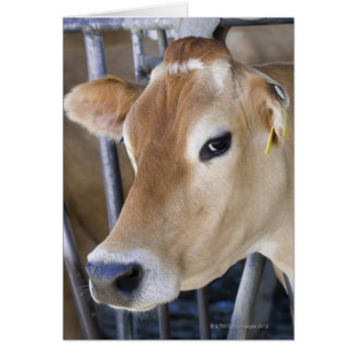 Jersey dairy cow with head in head lock. card