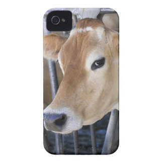 Jersey dairy cow with head in head lock. iPhone 4 case