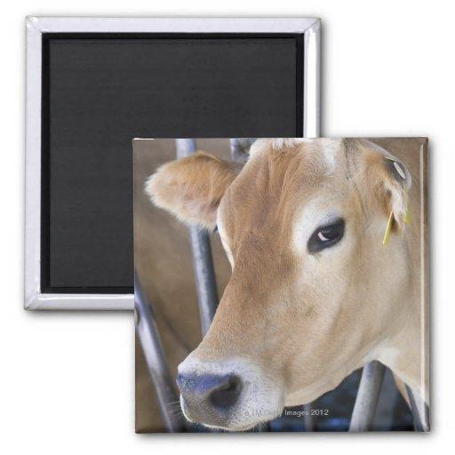 Jersey dairy cow with head in head lock. fridge magnet