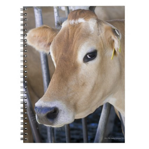 Jersey dairy cow with head in head lock. notebook