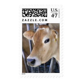 Jersey dairy cow with head in head lock. postage stamp