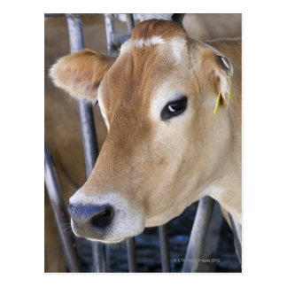 Jersey dairy cow with head in head lock. postcard