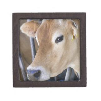 Jersey dairy cow with head in head lock. premium jewelry box