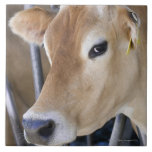 Jersey dairy cow with head in head lock. tiles