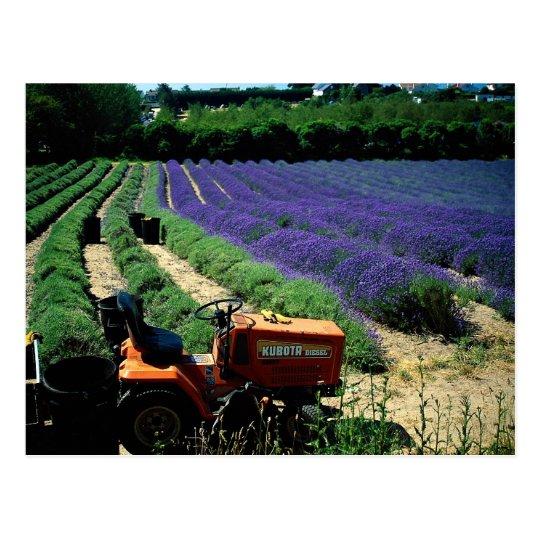Jersey lavender farm, Jersey Channel Islands, Engl Postcard