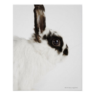 Jersey Wooly Rabbit Poster