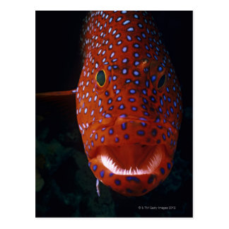Jewel Grouper, Cephalopholis miniata Postcard