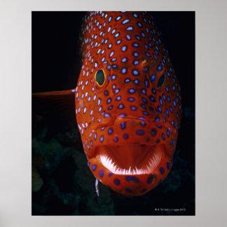 Jewel Grouper, Cephalopholis miniata Poster