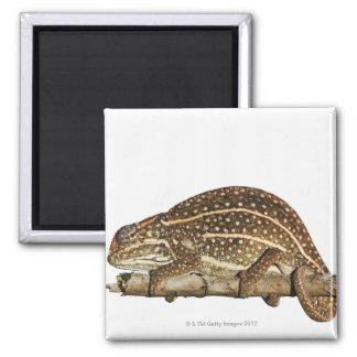 Jewelled chameleon, Campan's chameleon Magnet