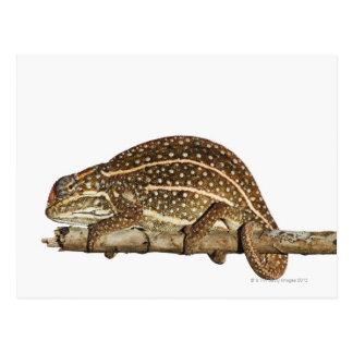 Jewelled chameleon, Campan's chameleon Postcard