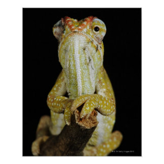 Jewelled chameleon or Campan s chameleon Posters