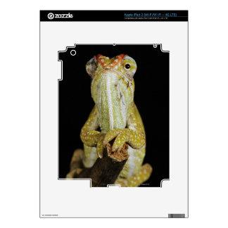 Jewelled chameleon, or Campan's chameleon iPad 3 Decals