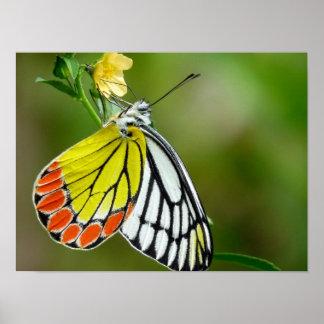 Jezebel (Delias Eucharis) Butterfly Print