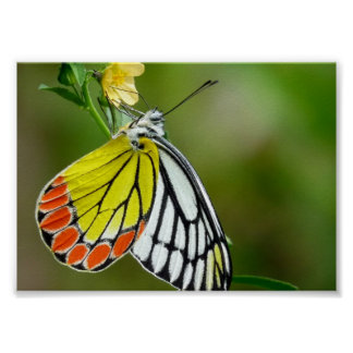 Jezebel (Delias Eucharis) Butterfly Posters