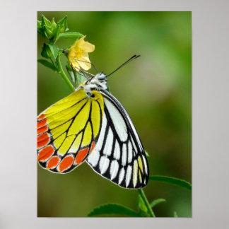 Jezebel (Delias Eucharis) Butterfly Poster