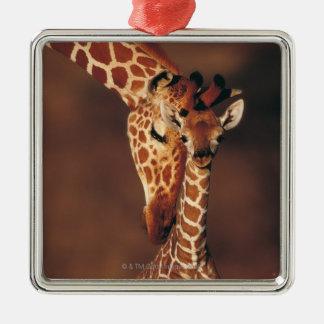Jirafa adulta con el becerro (camelopardalis del adorno