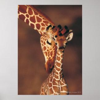 Jirafa adulta con el becerro camelopardalis del G Poster
